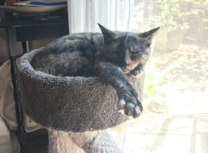 A tortoiseshell cat naps in a perch with one paw extended